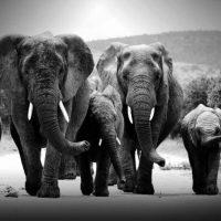 Glasschilderij Elephant